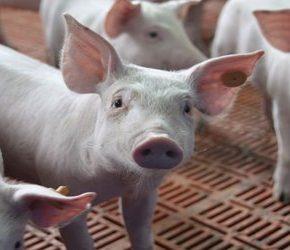 Upadają gospodarstwa hodujące świnie