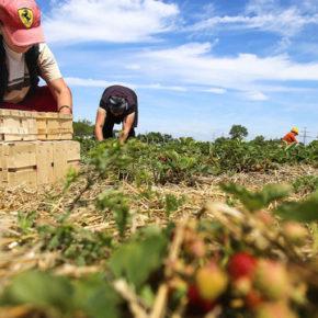 Czescy studenci pójdą pracować w polu?