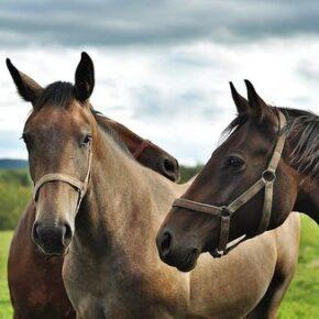 """Konie mają """"zagrażać środowisku"""""""