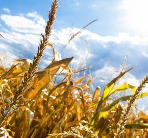 Susza znowu dotknie polskie rolnictwo